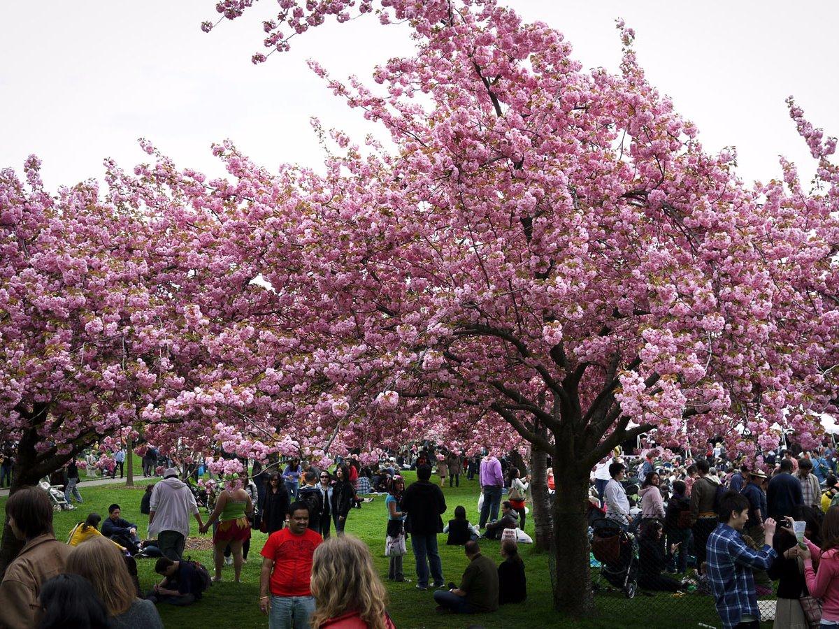 cherry blossom festival - 1024×684